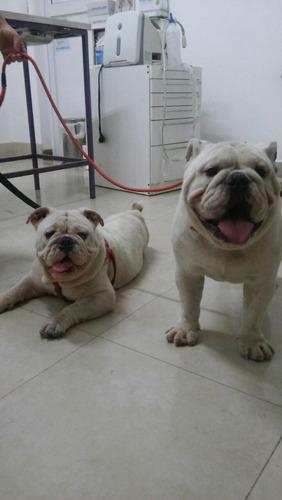 servicio de stud bulldog ingles