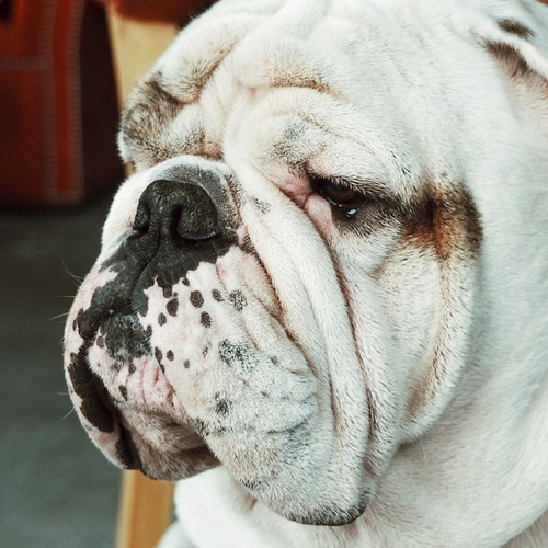 servicio de stud bulldog inglés