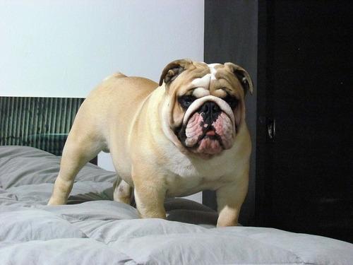 servicio de stud bulldog ingles fca
