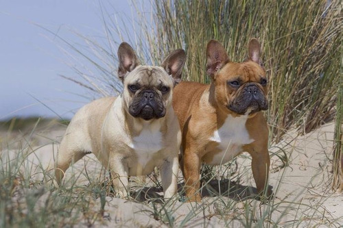 servicio stud bulldog frances