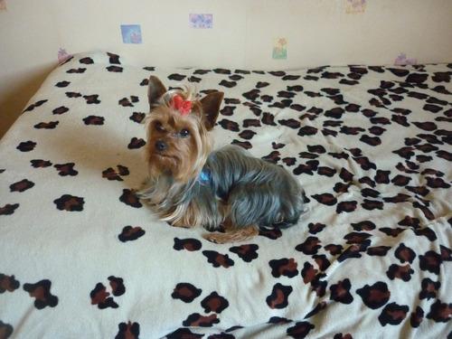 servicio yorkshire terrier 2 kg carita baby face excelente
