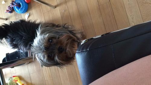servicio yorkshire terrier macho