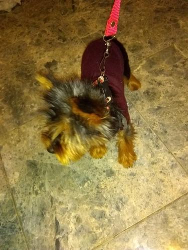 servicios de monta perros yorkshire