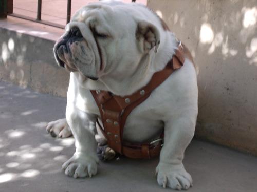 servicios de stud bulldog ingles piasecki,s rolex bull