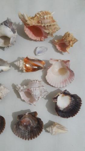 set de 16 cochas y caracoles marinos