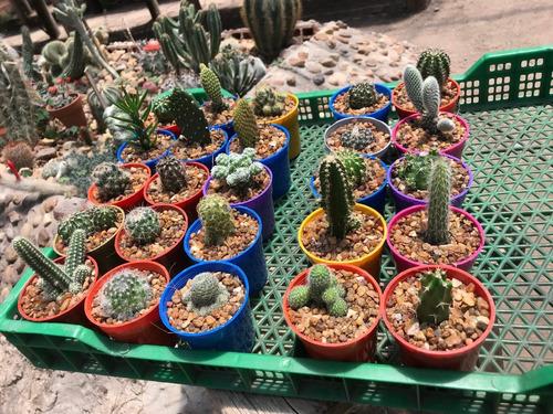 set x 50 cactus y/o suculentas en maceta 6
