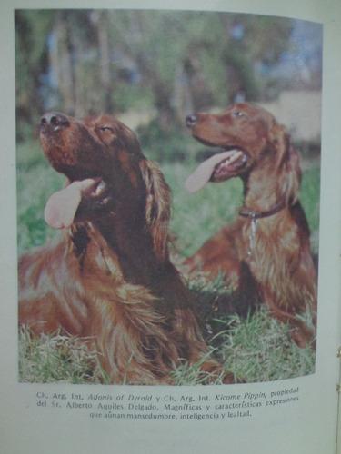 setter irlandes raza perros
