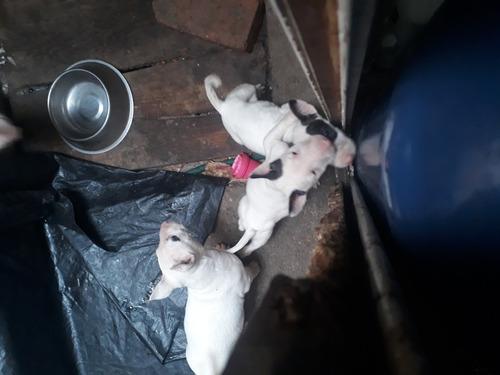 sevenden cachorros bullterry ingles3500