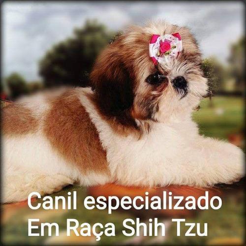 shih-tzu