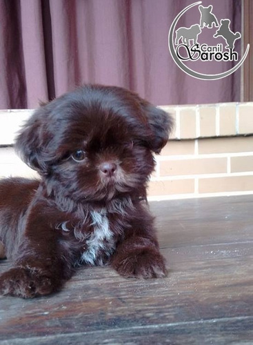 shih tzu macho chocolate