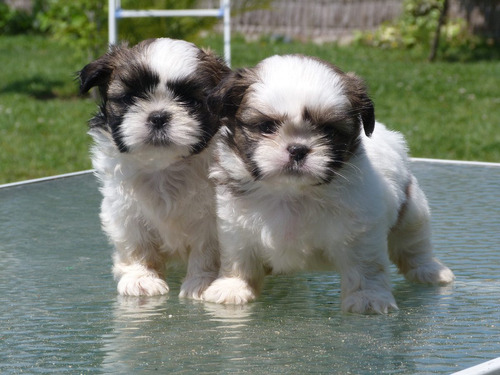 shih tzu - shihtzu cachorros machos y hembras