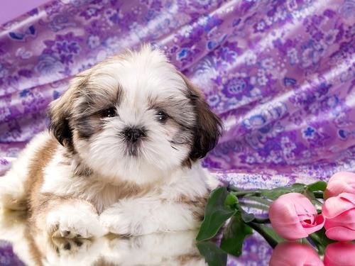 shihtzu hermosos cachorros lineas importadas shitzu