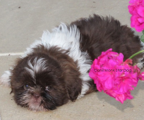 shihtzu  mini macho chocolate top, lindo filhotes shitzu .