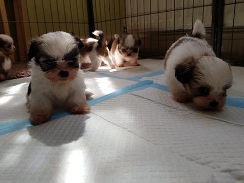 shiz tzu cachorros disponibles
