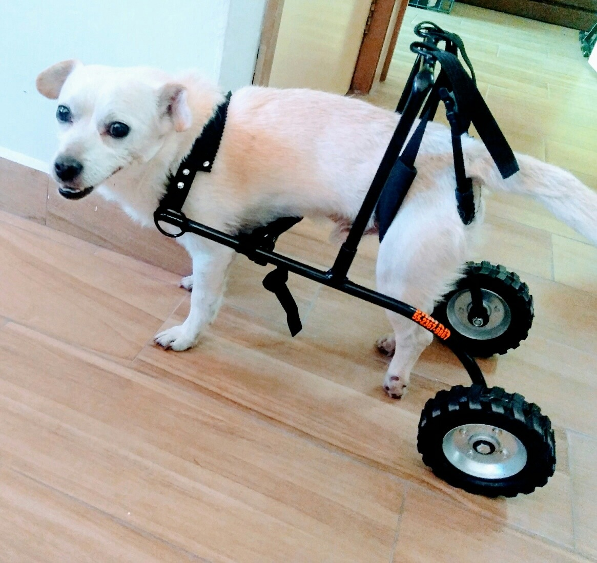 Silla de ruedas para perros gatos arnes 1 en mercado libre - Ruedas para sillas de ruedas ...