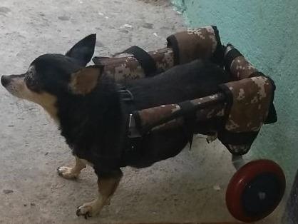 sillas de ruedas perros pequeños envió gratis