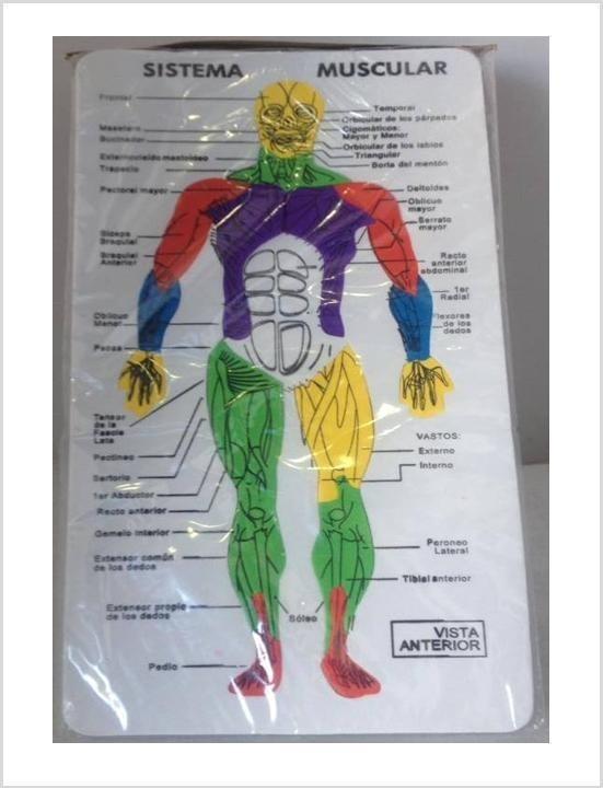 Sistema Muscular En Foami Rompecabezas Escolar - Bs. 4.500.000,00 en ...