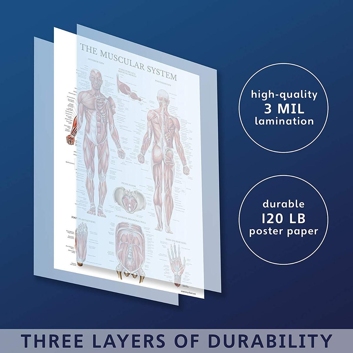 Sistema Muscular Poster Anatómico - Laminado - Muscle Anatom ...