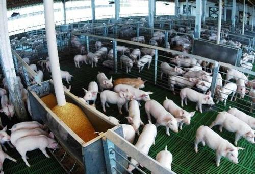 sistema software programa de gestion porcina granja cerdo