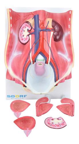 sistema urinário classico 4 partes adulto anatomia ana bely