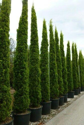 Sobre para sembrar 20 pinos cipres italiano jardines for Jardin cipres