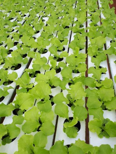 solução nutritiva hidroponia alface 1000 litros promocao