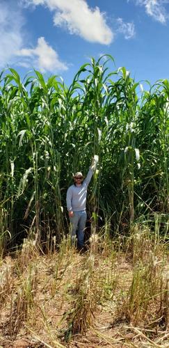 sorgo gigante boliviano agri 002 - saco de 5 kg de sementes