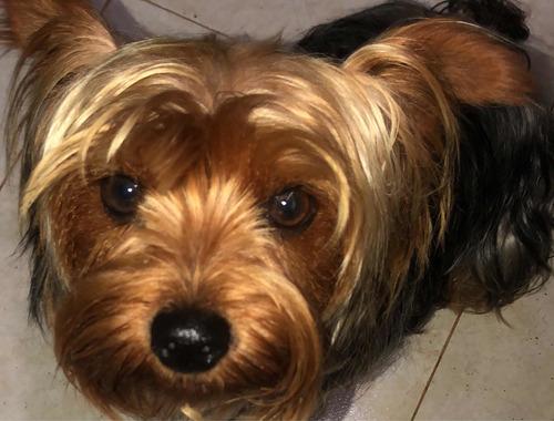 soy un galán yorkshire terrier, tengo 1 año y busco novia