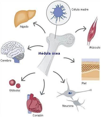 stemehance. liberación natural de celulas madre adultas.