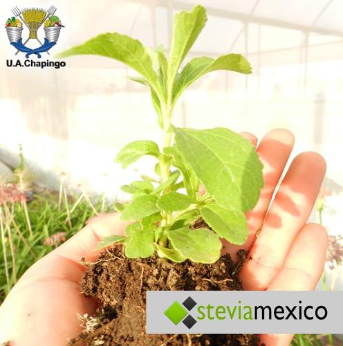 stevia extracto 20 ml 6 pzas + 2 bolsas 25 g  envío gratis