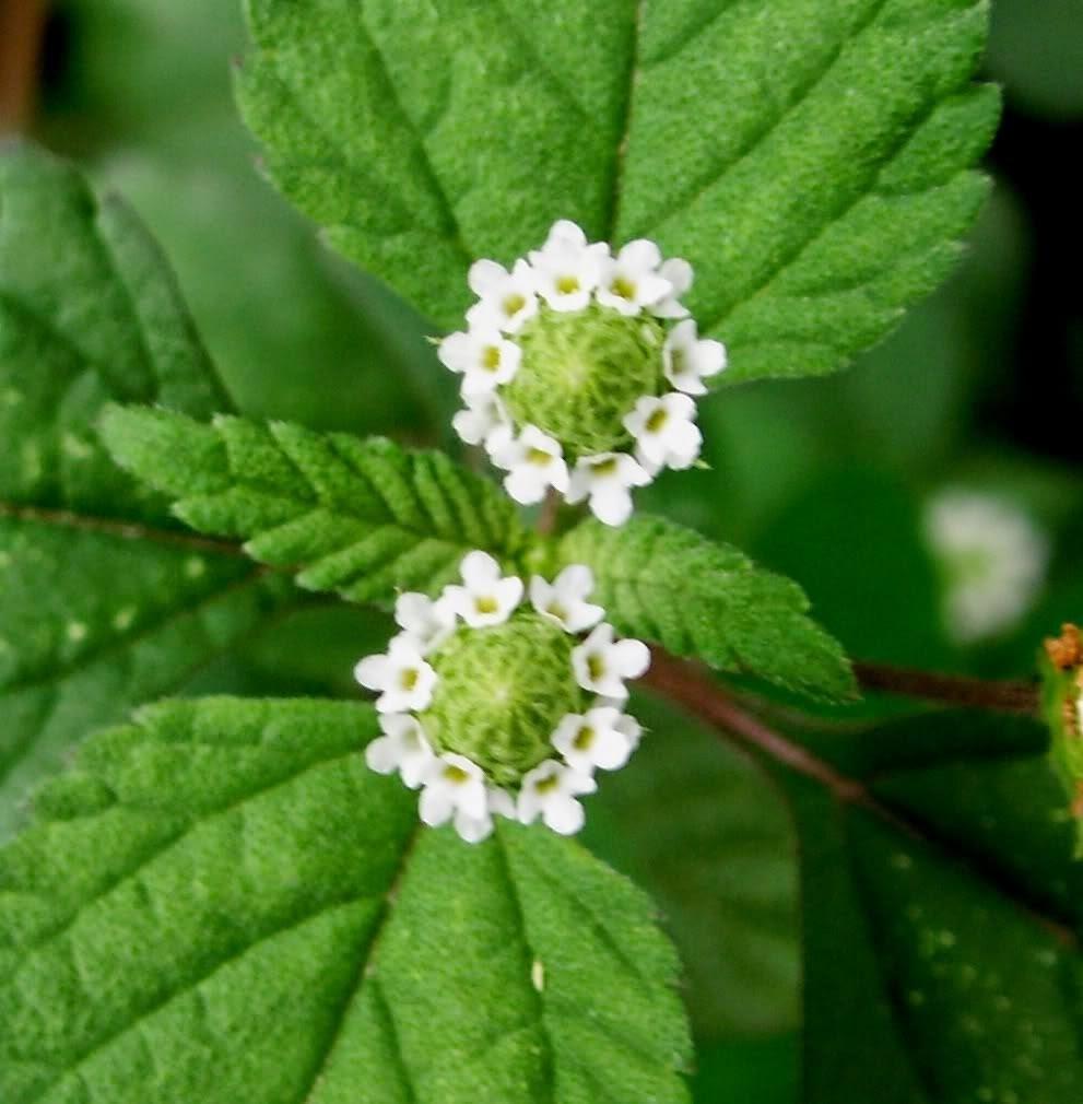 Stevia , Hierba Dulce Mexicana ( Planta Paq 12 Piezas
