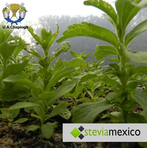stevia orgánica pulverizada en  bolsa con 40g
