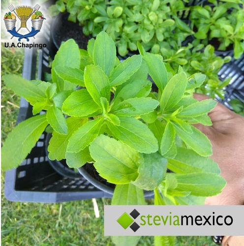 stevia pulverizada 40g + stevia líquida en gotero 20 ml