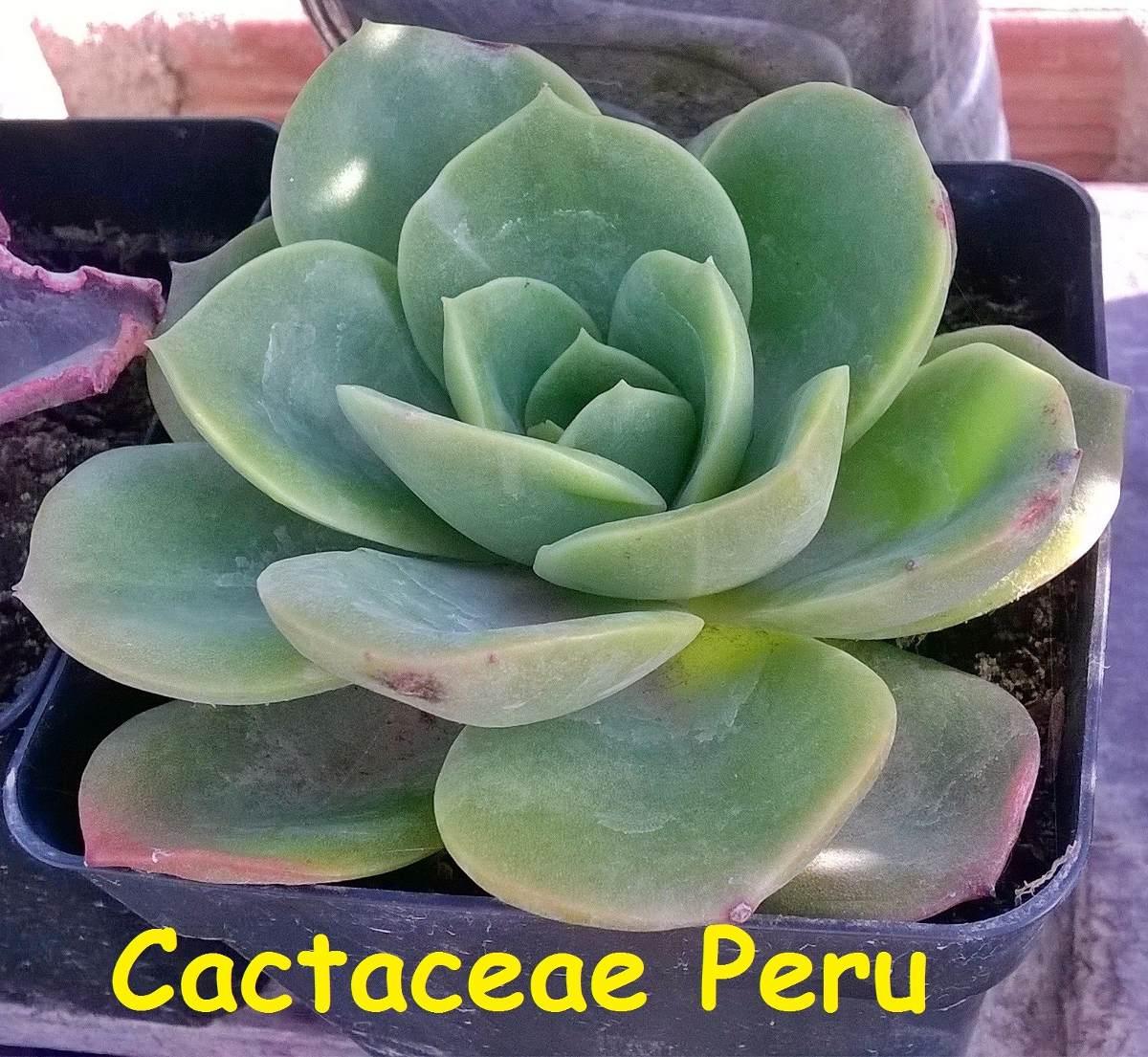 Echeverria planta reproduccion asexual en