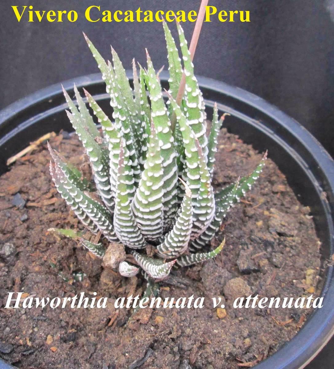 Haworthia fasciata reproduccion asexual de las plantas