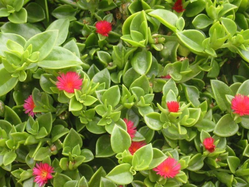 Suculenta rosinha de sol aptenia cordifolia corte r for Erba dicondra