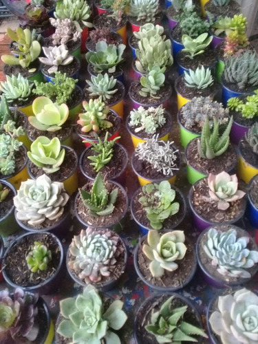 suculentas plantas  matera 9cms plastica