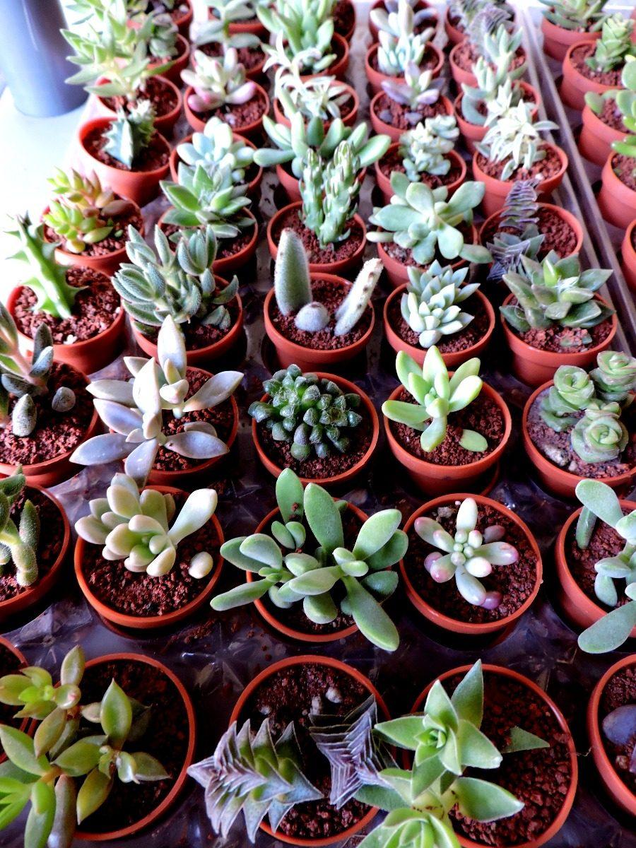 Plantas suculentas cactus plantas miniatura en for Curso cactus y suculentas