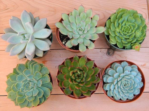 Suculentas y cactus para recuerdos matrimonio bautizo for Suculentas chile