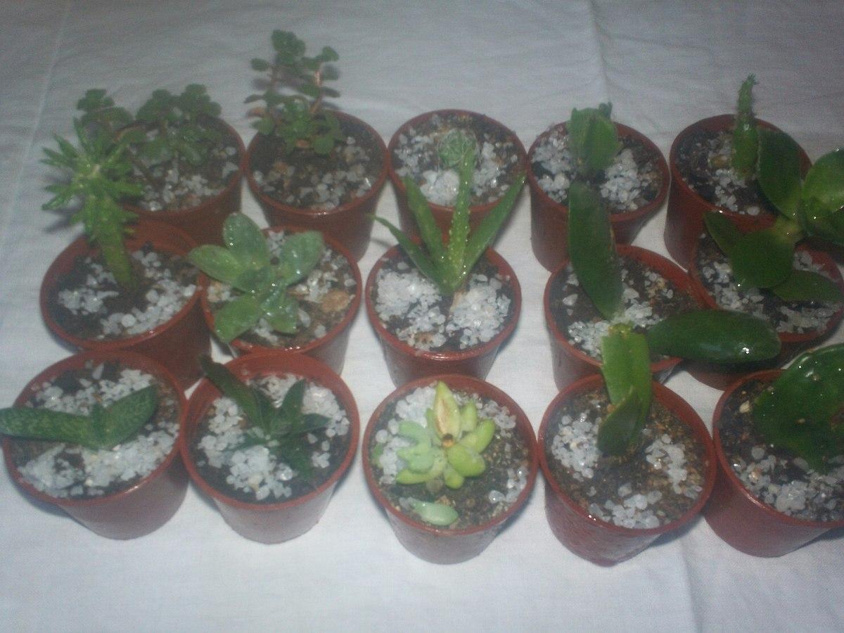 Suculentas y cactus souvenir 500 en mercado libre for Suculentas chile
