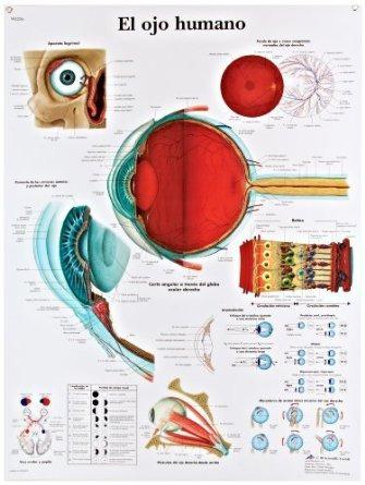Tabla 3b Scientific Papel Brillante Anatómico Del Ojo Humano ...