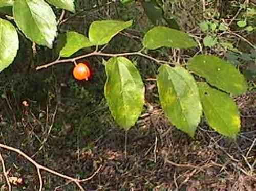 tala- árbol nativo, floral, frutal, follaje vistoso- sombra