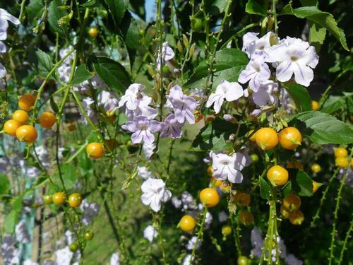 tala blanco, duranta- arbusto floral nativo, frutos vistosos