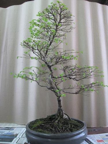 talleres de bonsai inicial y avanzado