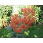 Plantas Crassula Falcata: Extravagante - Rustica