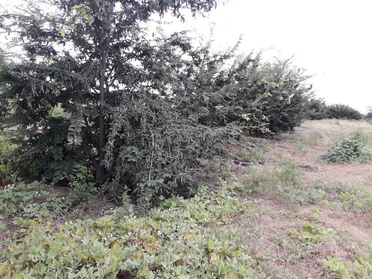 terreno agricola, 10 (hasta 80) hectáreas jayanca, lambayeq