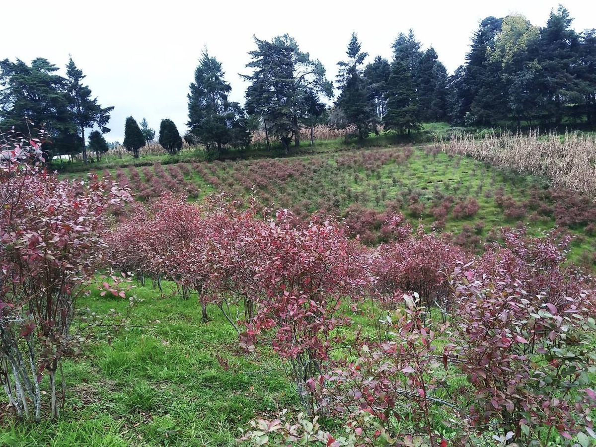 terreno de 1 hectárea con 3000 plantas de blueberry