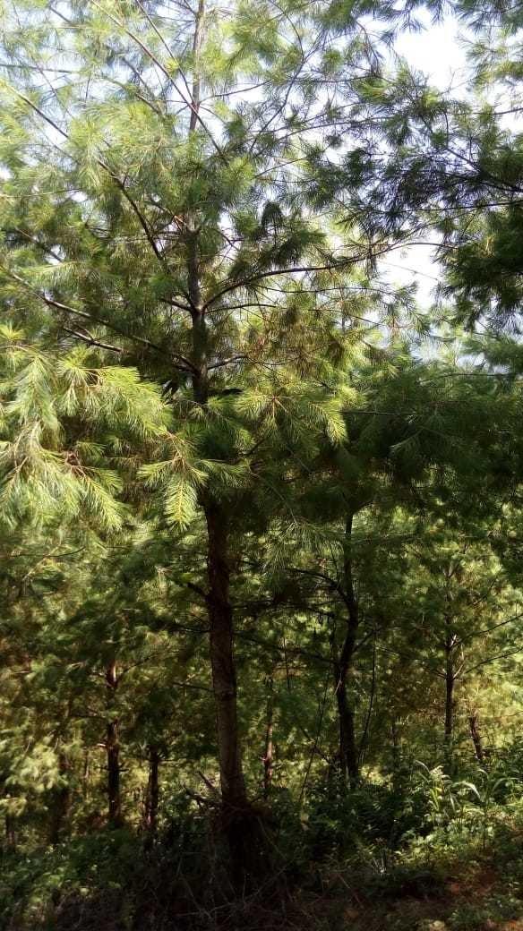 terreno de 13 hectareas con platacion forestal