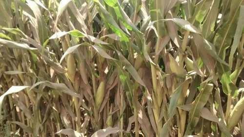 terreno de 300 hectáreas agrícola de riego navolato sinaloa