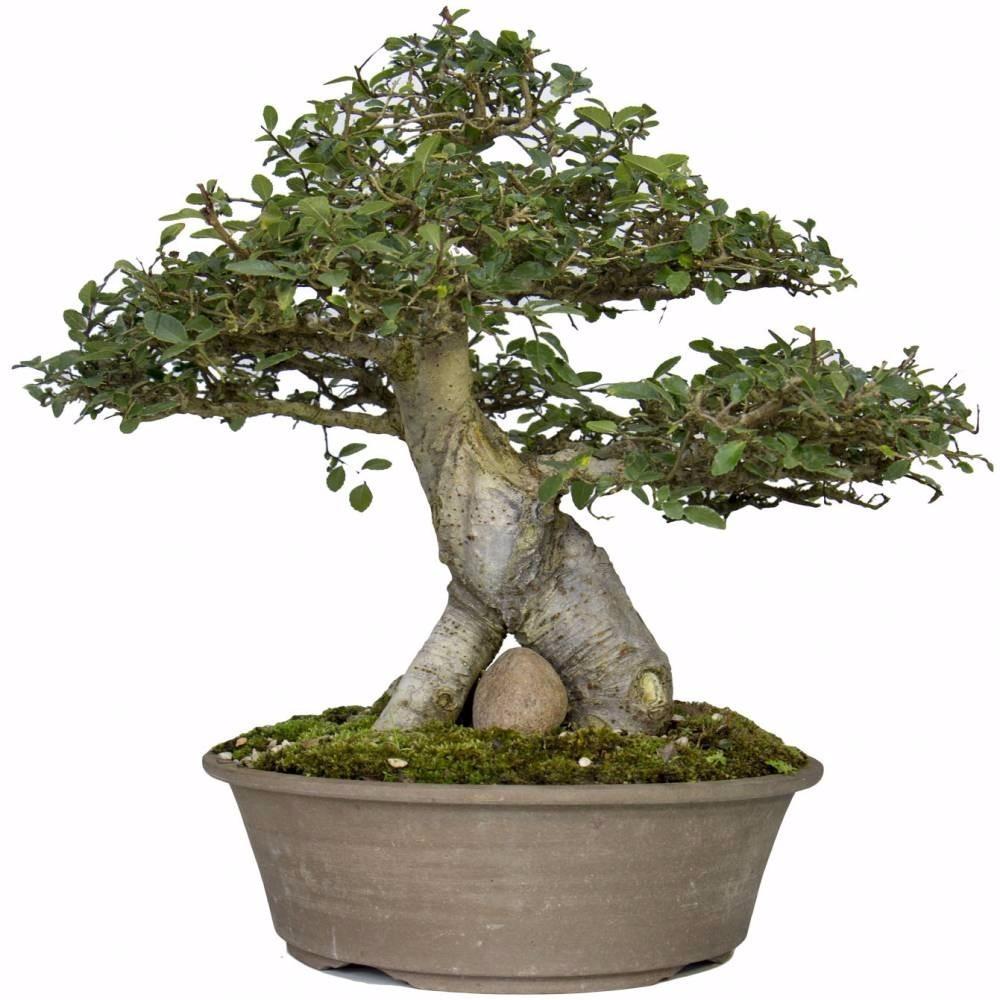 Tesoura de podar planta bonsai orqu dea prof tramontina r 15 20 em mercado livre - Plantas para bonsai ...